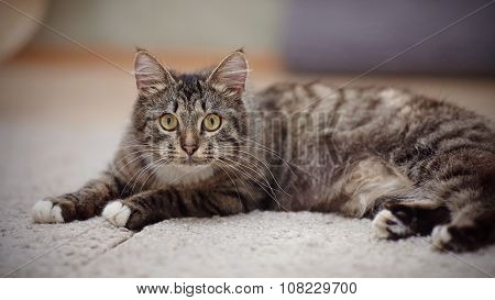 The Striped Domestic Cat With Yellow Eyes