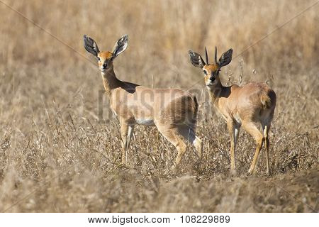 Pair Of Steenbok Walking Together In Dry Grass Looking Back