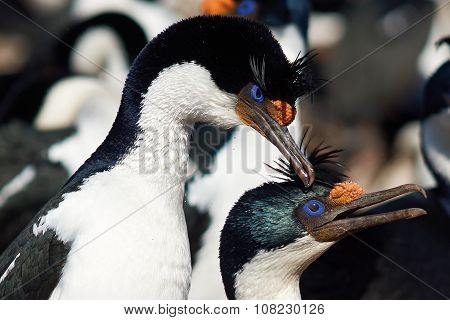 Imperial Shags Courting