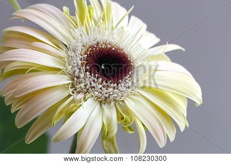 White Flower Of Gerbera