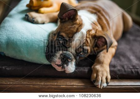 Red-haired English Bulldog Lying On The Wooden Couch With Blue Pillow