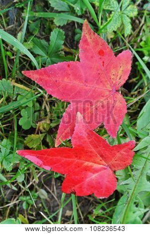 Red Leaves Over Grass