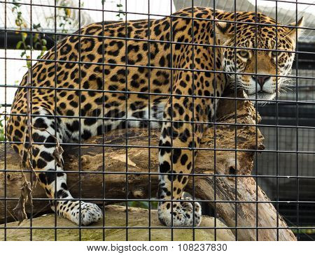 The Jaguar Of Zoological Park .