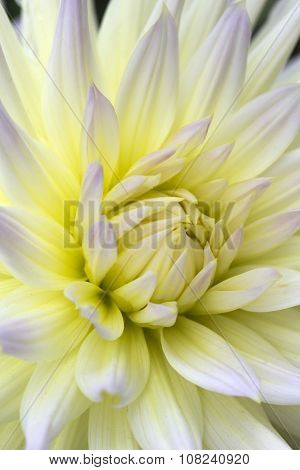 Pale Yellow And Pink Cactus Type Dahlia