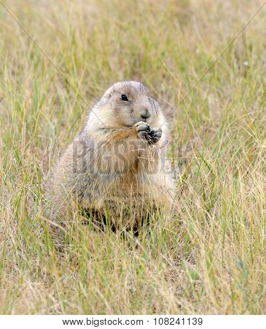 Prairie dogs in its native grasslands
