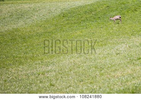 Brown Young Doe On The Green Grass