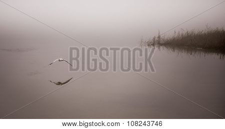 Seagull catches a crayfish on a fogging November morning.