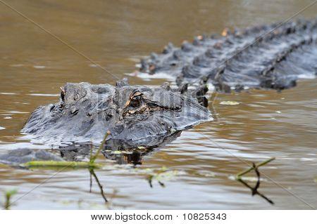 Close Up Of Florida Alligator