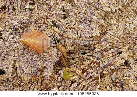 Dried Leaf On The Fern