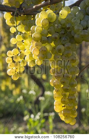 Vidal White Wine Grapes Hanging on the Vine in Late Fall