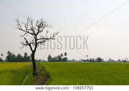 Single dried dead tree in the middle of paddy field