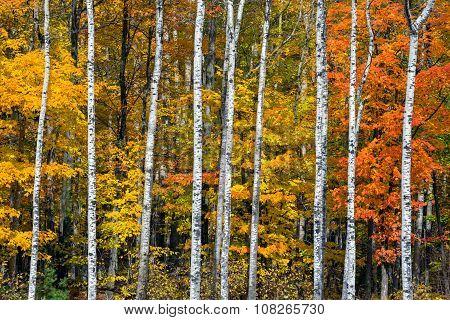 Autumn White Birch Wood