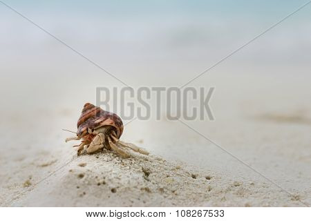 A Little Hermit Crab on a White Sand Beach at Maldives