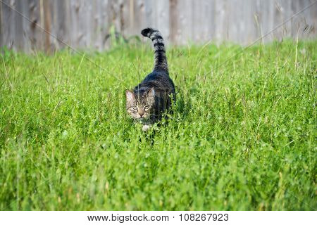 Hunting Tabby Cat