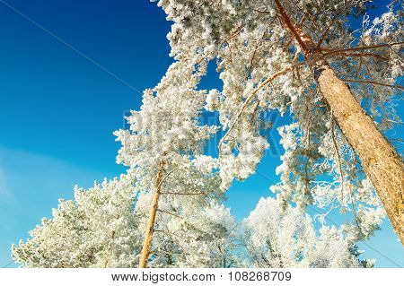 Pine Trees With Hoarfrost In Winter Forest Against The Blue Sky