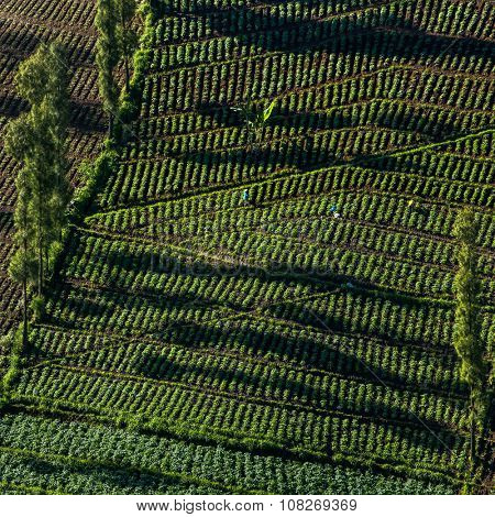 Vegetable crops on the hilly fields. Java, Indonesia. Agriculture background