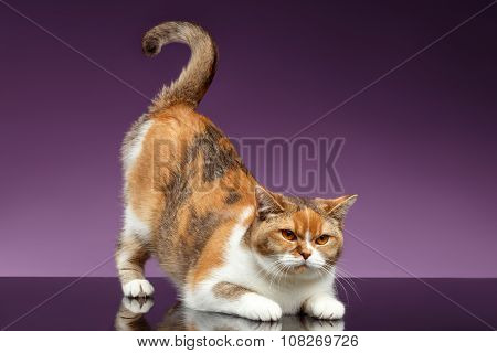 Red British Cat Picked Up Tail Like Question Symbol