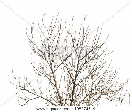 Tree Is Not Leaves Anf Branch Of Dead Tree On White Background