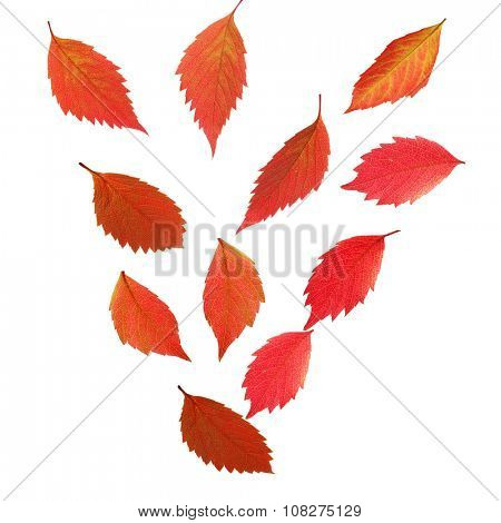 Autumn leaves falling down, isolated on white