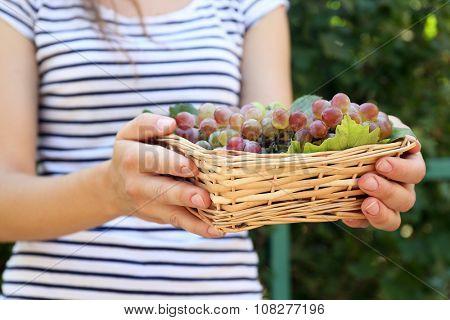Wicker basket with sweet juicy grape harvest in female's hands, outdoors