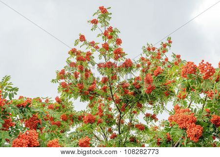 Tree Branches With Ripe Bunches Of Rowan