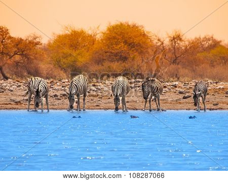 Drinking zebras at waterhole