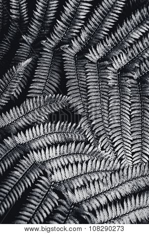 Silver fern leaf in black and white over black background.