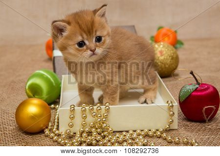 Small  Kitten Of The British Breed