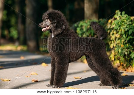 Black Standard Poodle Dog Outdoor