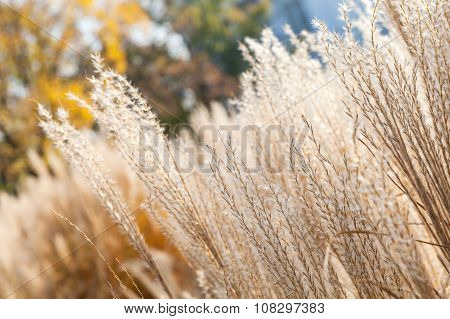 Dry Fluffy Reed Flowers In Autumnal Park
