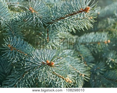Blue Spruce Branches Close-up