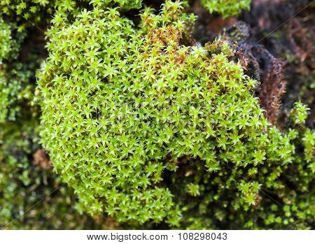 Bright Green Moss, Decorative Plant In Garden