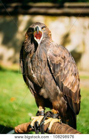 Sitting Golden Eagle Haliaeetus albicilla