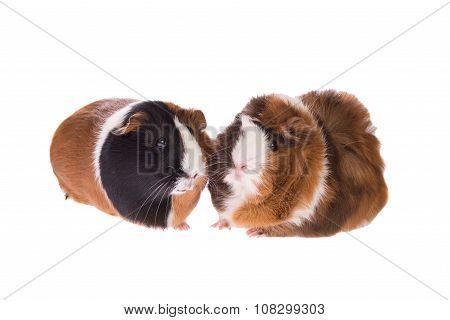 Guinea pigs toghether