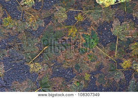 Autumnal Leaves and Bitumen