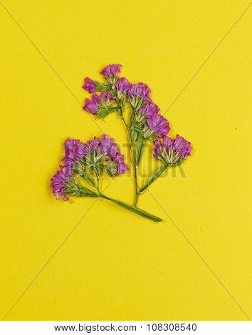 Pressed And Dried Flower Statice On Yellow Background