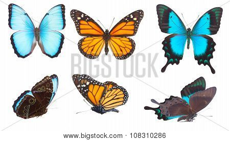 Blue morpho monarch and Sea Green Swallowtail butterflies