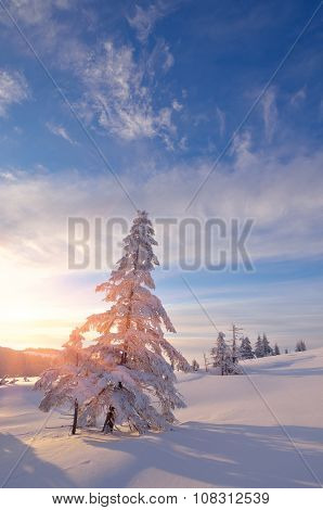 Snowy trees. Winter landscape in the morning. Sun rays