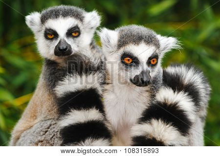 Portrait Of Two Adult Lemur Katta (lemur Catta)