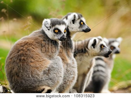 Group Of Lemur Katta (lemur Catta)