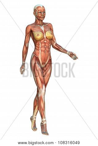 Female Anatomy Figure On White