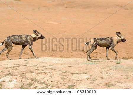 2 Wild (painted) dogs walking on the sandy plains