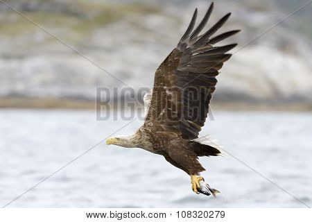White-tailed eagle catching fish