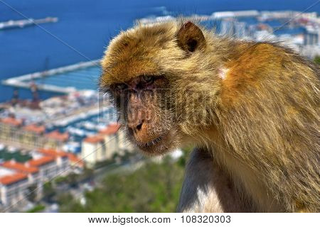 Monkey In Gibraltar.