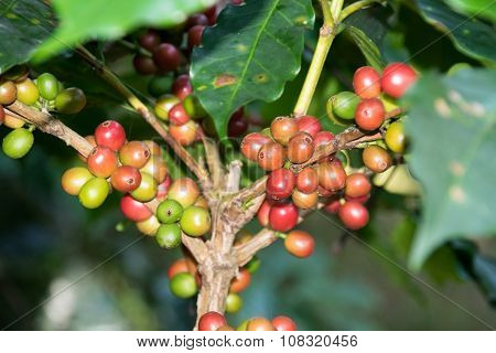 Fresh raw coffee beans - Coffee tree branches filled with ripening Coffee Cherries.