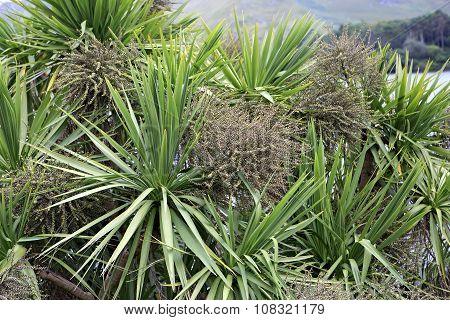 Beautiful palm tree Dracaena in Ireland.