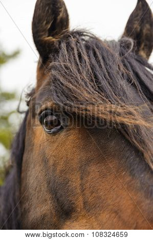 Closeup Of Eye Of Horse With Mane