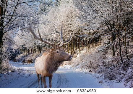 Sunny day at Christmas. The snow-covered road in the northern wood. The red deer with branchy horns costs on a skiing run