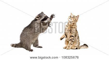 Raccoon attack cat Scottish Straight