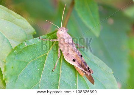Grasshopper (Anasedulia maejophrae Dawwrueng, Storozhenko et Asanok)